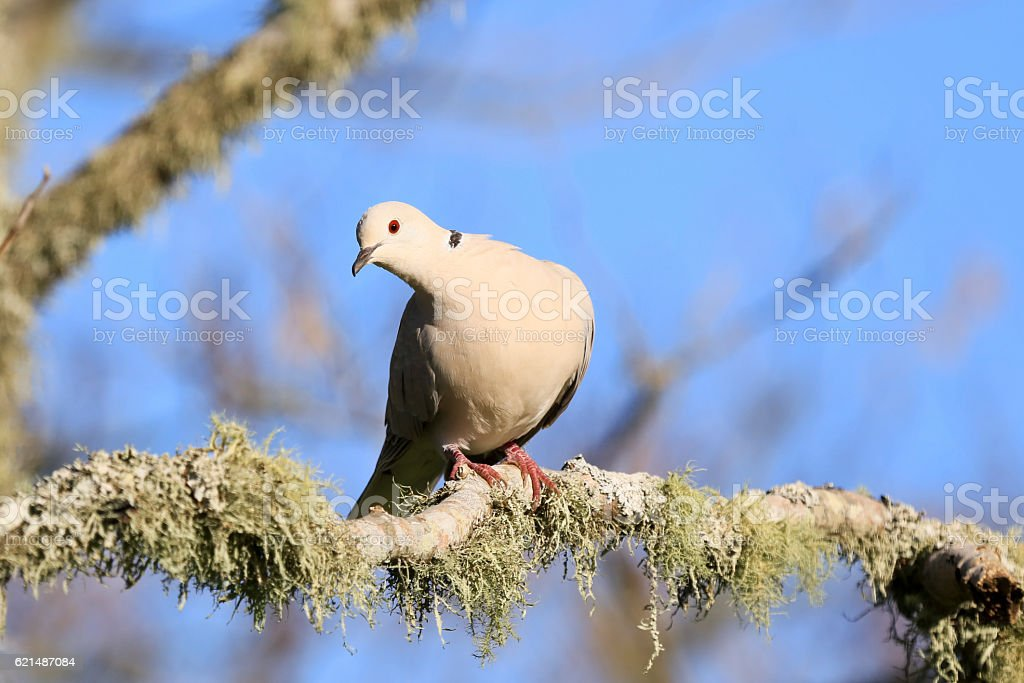Beige coloured, black ring necked dove foto stock royalty-free