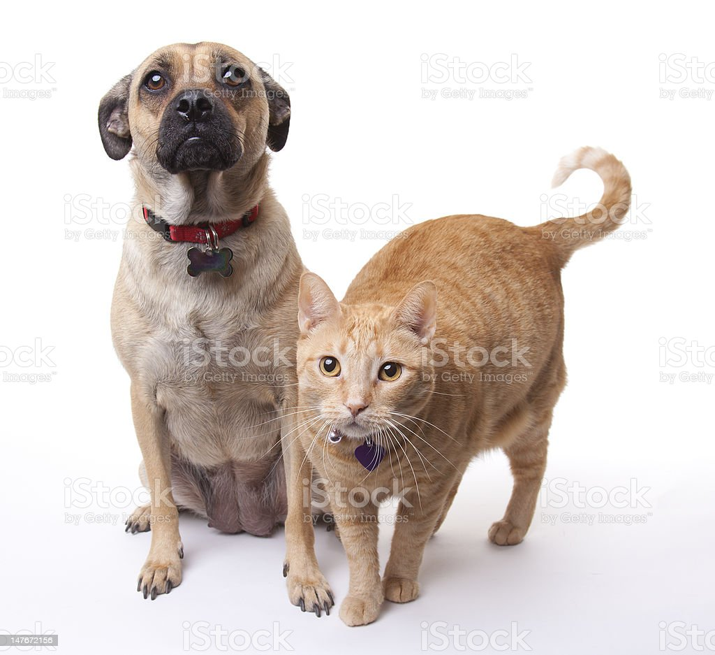 beige dog and cat on a white background stock photo more pictures of bizarre istock. Black Bedroom Furniture Sets. Home Design Ideas