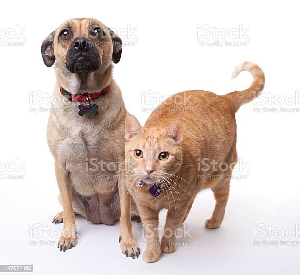 Beige dog and cat on a white background picture id147672156?b=1&k=6&m=147672156&s=612x612&h=anyuw1z6uizghahhcujucln 9vudviqbqpb1m7vzihm=