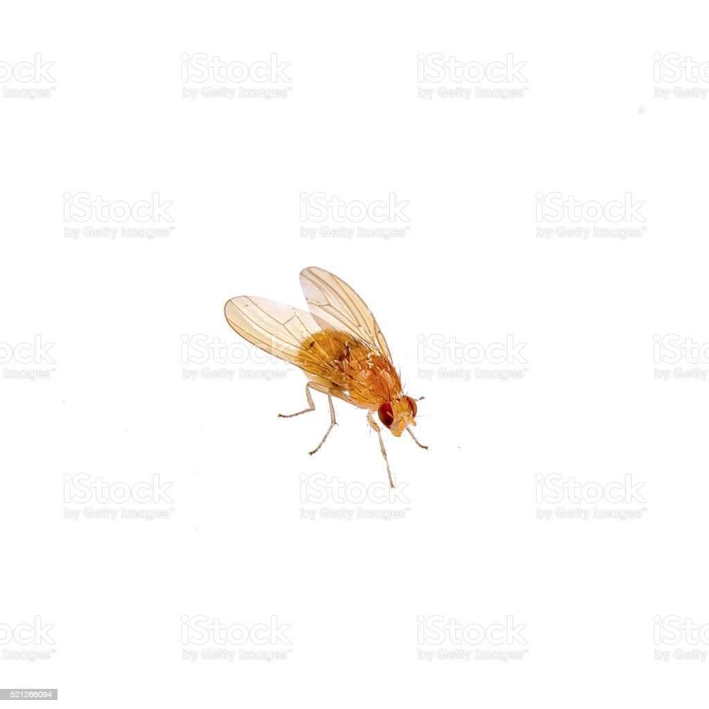 Beige fly on a white background stock photo