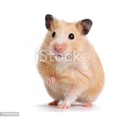 Beige hamster on a white background