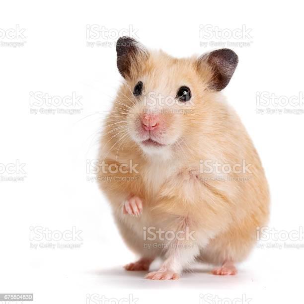 Beige hamster picture id675804830?b=1&k=6&m=675804830&s=612x612&h=f3d5cg5xy3x6slrdtywxgi6zzihs8xf81m nksvs5eo=