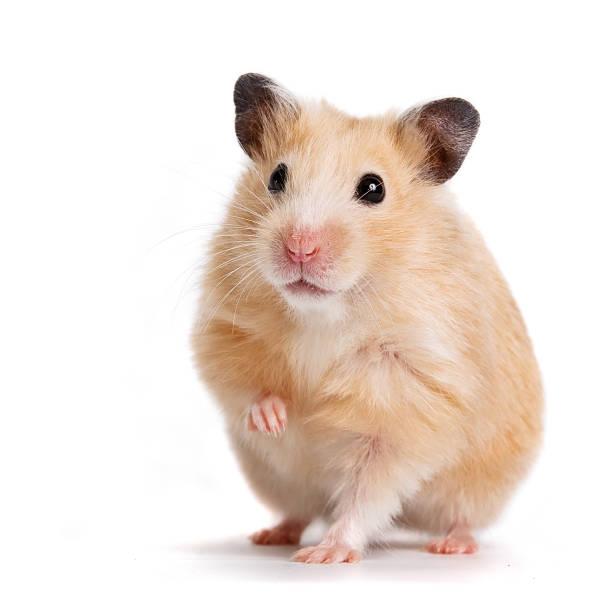 Beige hamster – Foto