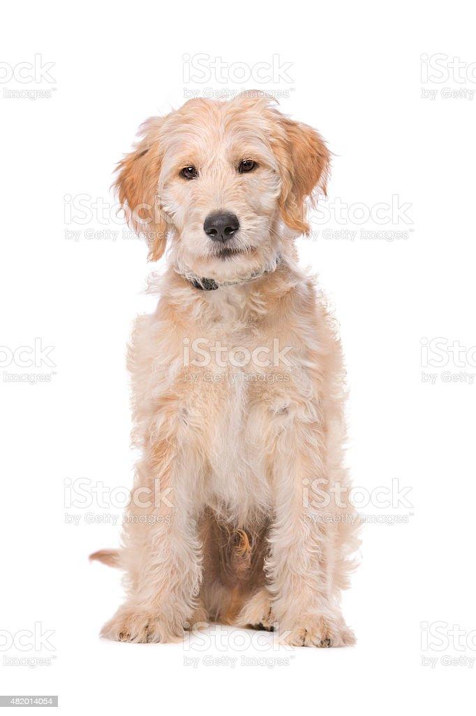 Beige Labradoodle chien - Photo