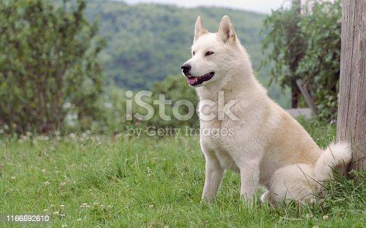 Male Siberian husky (Laika) dog sitting outdoor
