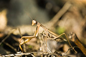 A preying mantis astride a bramble branch, it's striped eye looking towards the camera, autumn colours out of focus in the background, shot in the alpujarras andalusia Southern Spain
