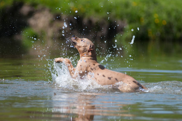 Beige pitbull terrier running out from water stock photo