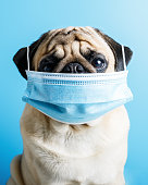 Veterinary clinic concept. Surgery concept. Doctor dog concept. wearing a mask during a pandemic and quarantine. concept of protection against coronovirus, disease.