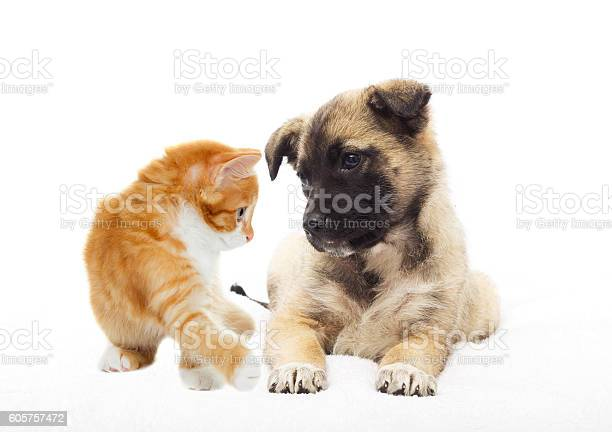 Beige puppy and kitten together looking picture id605757472?b=1&k=6&m=605757472&s=612x612&h=iba3vrkaybg7 ekkslw8ymv6b k6mhthtr89 nto4pa=