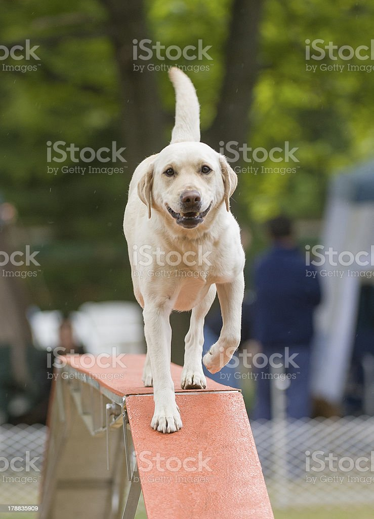 Beige short haired dog on agility Walkway royalty-free stock photo