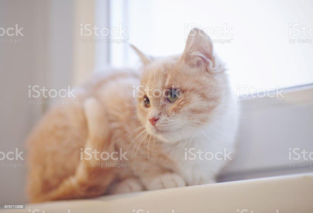 Beige tabby kitten on the windowsill 免版稅 stock photo