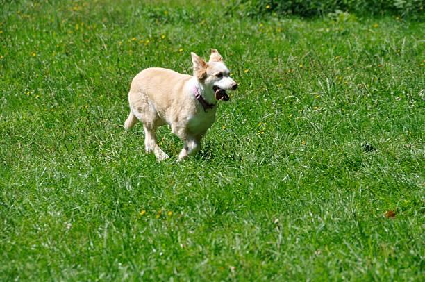 Beige dog and partridge public house rennt über meadow foxtail – Foto