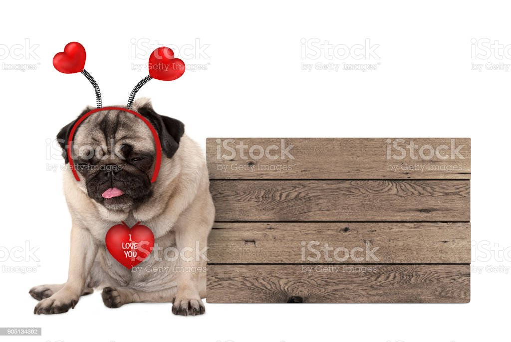 being fed up Valentine's day pug dog with hearts diadem sitting down next to wooden sign stock photo