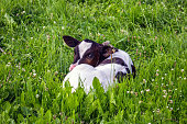 Close Up Portrait Of Black Cow Calf  In The Field With Green Grass.