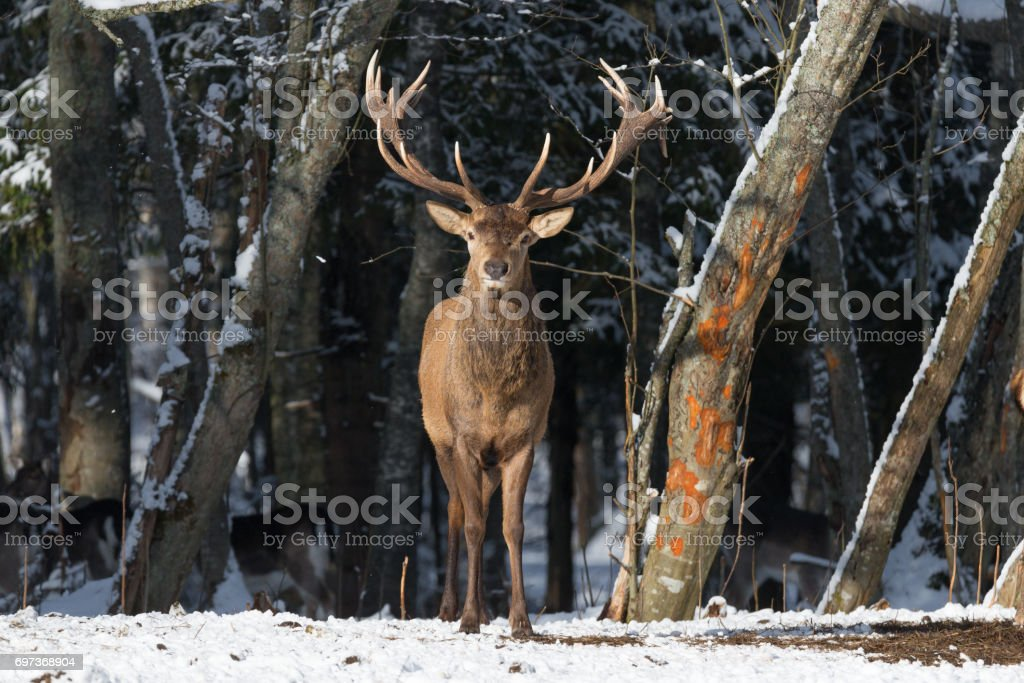 Belarus. Winter Wildlife Landscape With Noble Deer (Cervus elaphus). Deer With Large Branched Horns On The Background Of Snow-Covered  Forest. Beautiful Stag Close-Up, Artistic View. One Trophy Buck stock photo