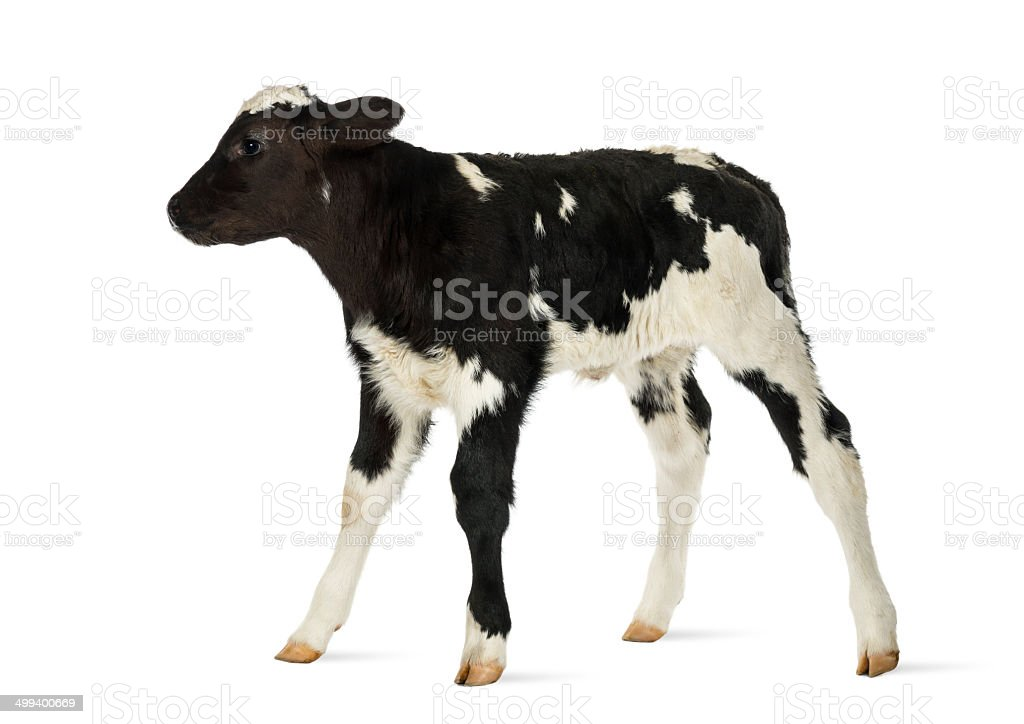 Belgian blue calf isolated on white stock photo