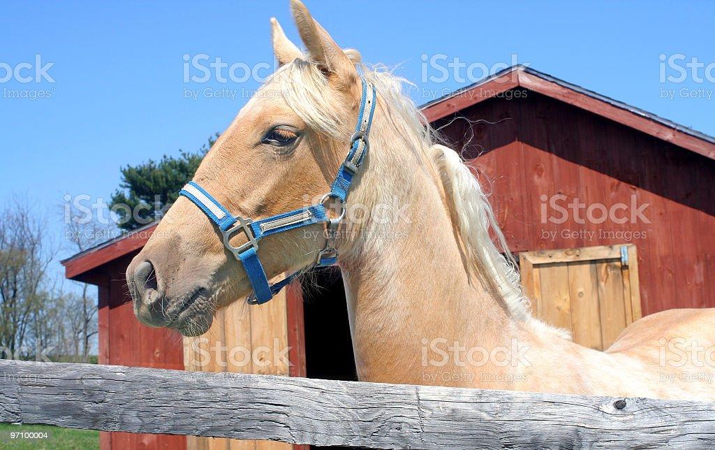 Belgian Colt royalty-free stock photo