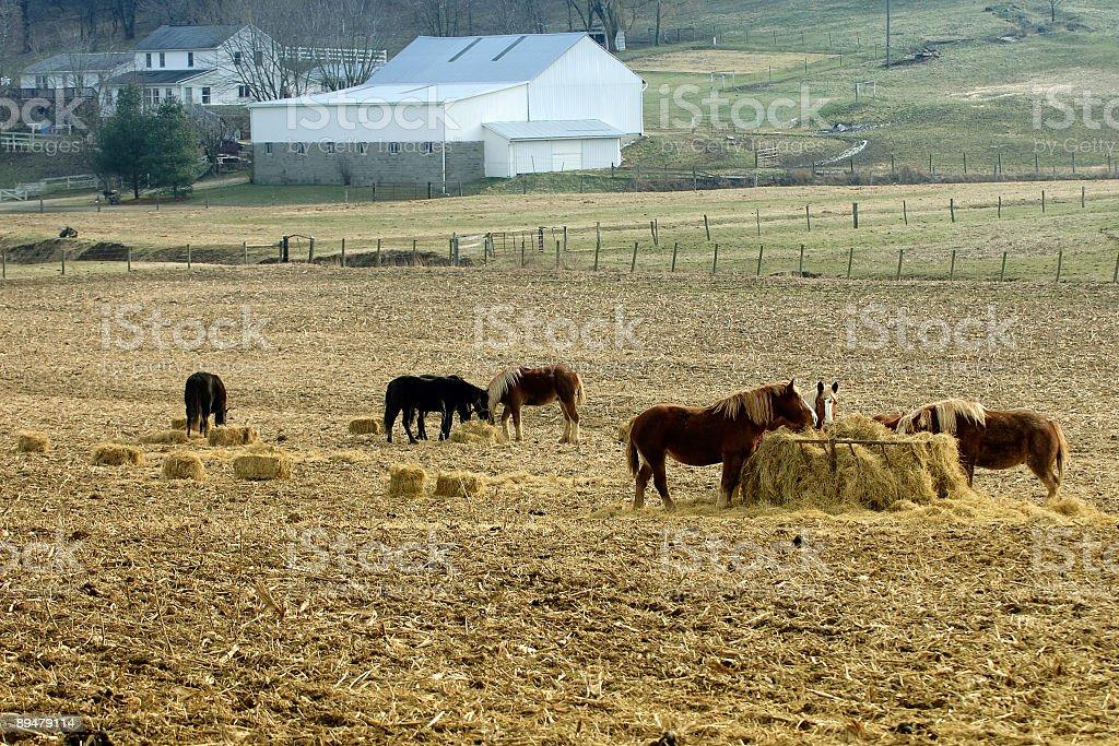 Belgian draft horses eating hay stock photo