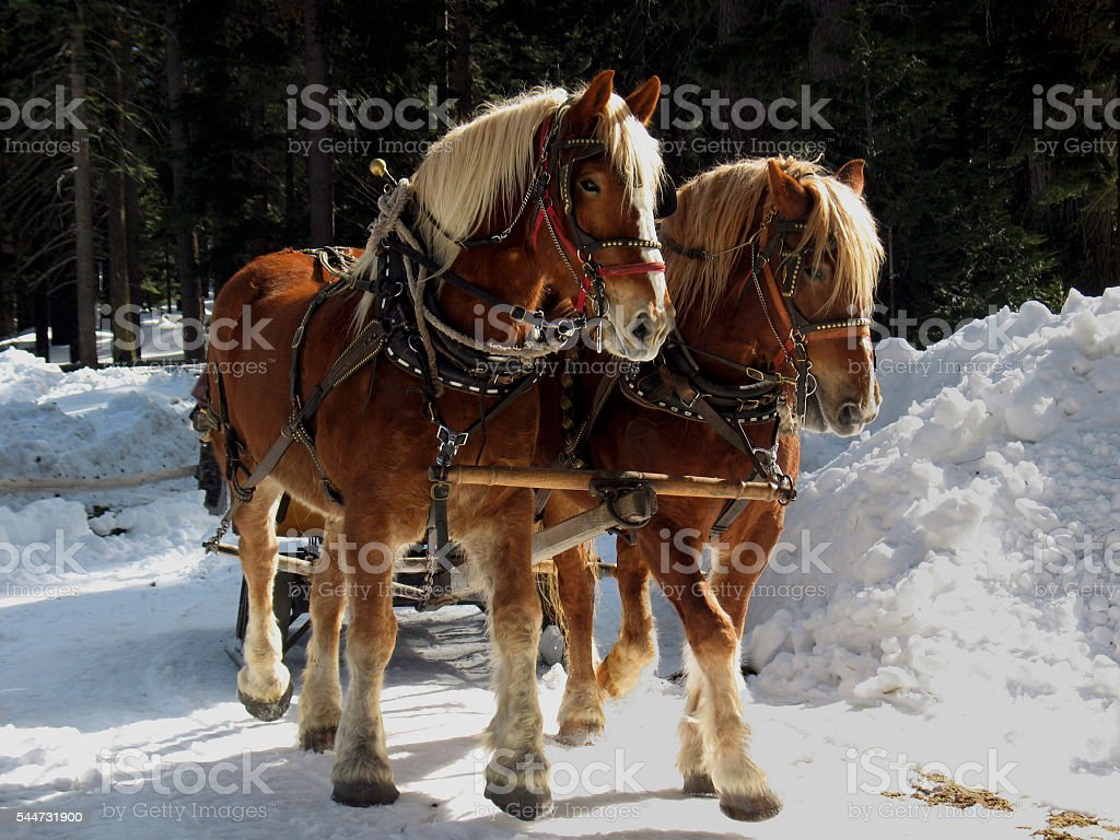 Belgian Draft Horses stock photo