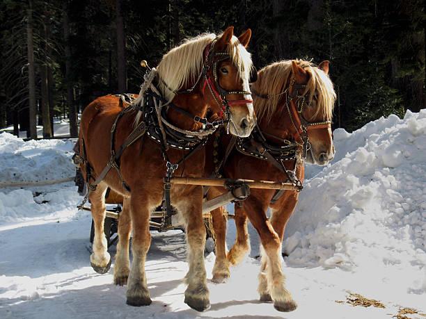 Belgian Draft Horses stock photo