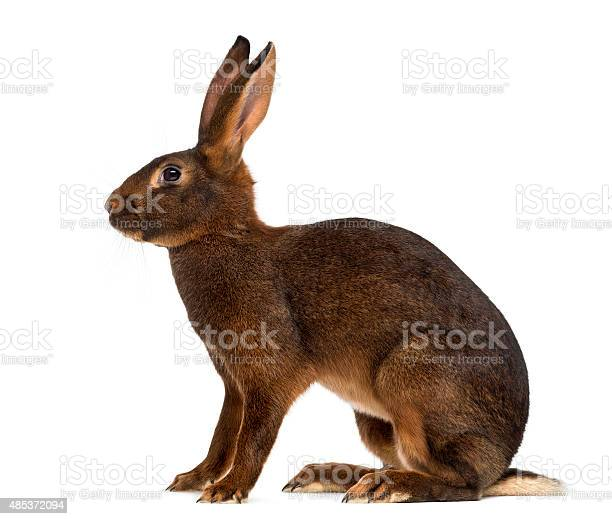 Belgian hare in front of a white background picture id485372094?b=1&k=6&m=485372094&s=612x612&h=inagjssackp6dwdspjmiolzr84qnl5zmhlakq2ewh64=
