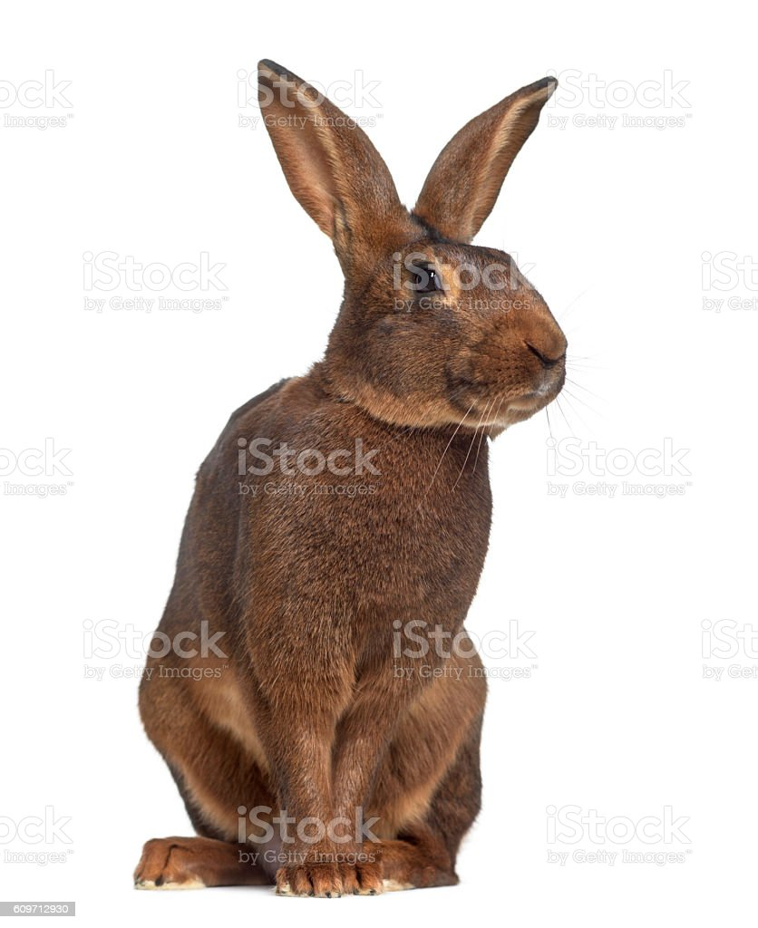 Belgian Hare isolated on white photo libre de droits