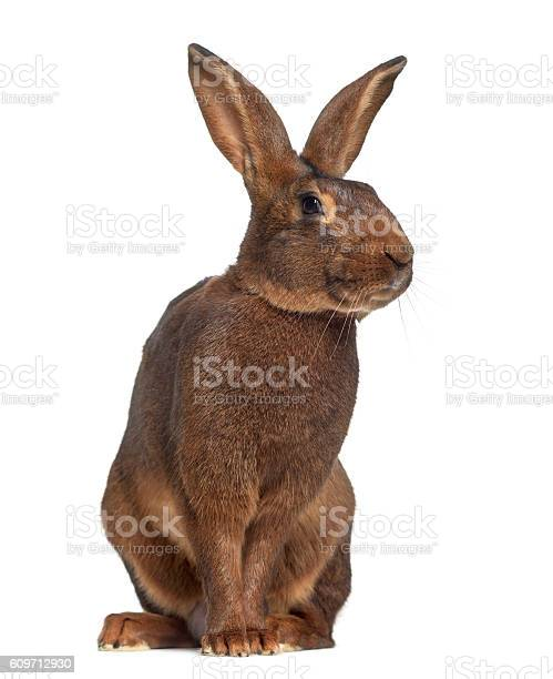 Belgian hare isolated on white picture id609712930?b=1&k=6&m=609712930&s=612x612&h=ovjbgudkey7lqk5mlw9dro4e9lxkwugkxmahukfc1dq=