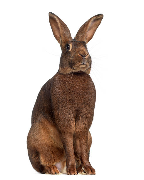 Belgian Hare isolated on white stock photo