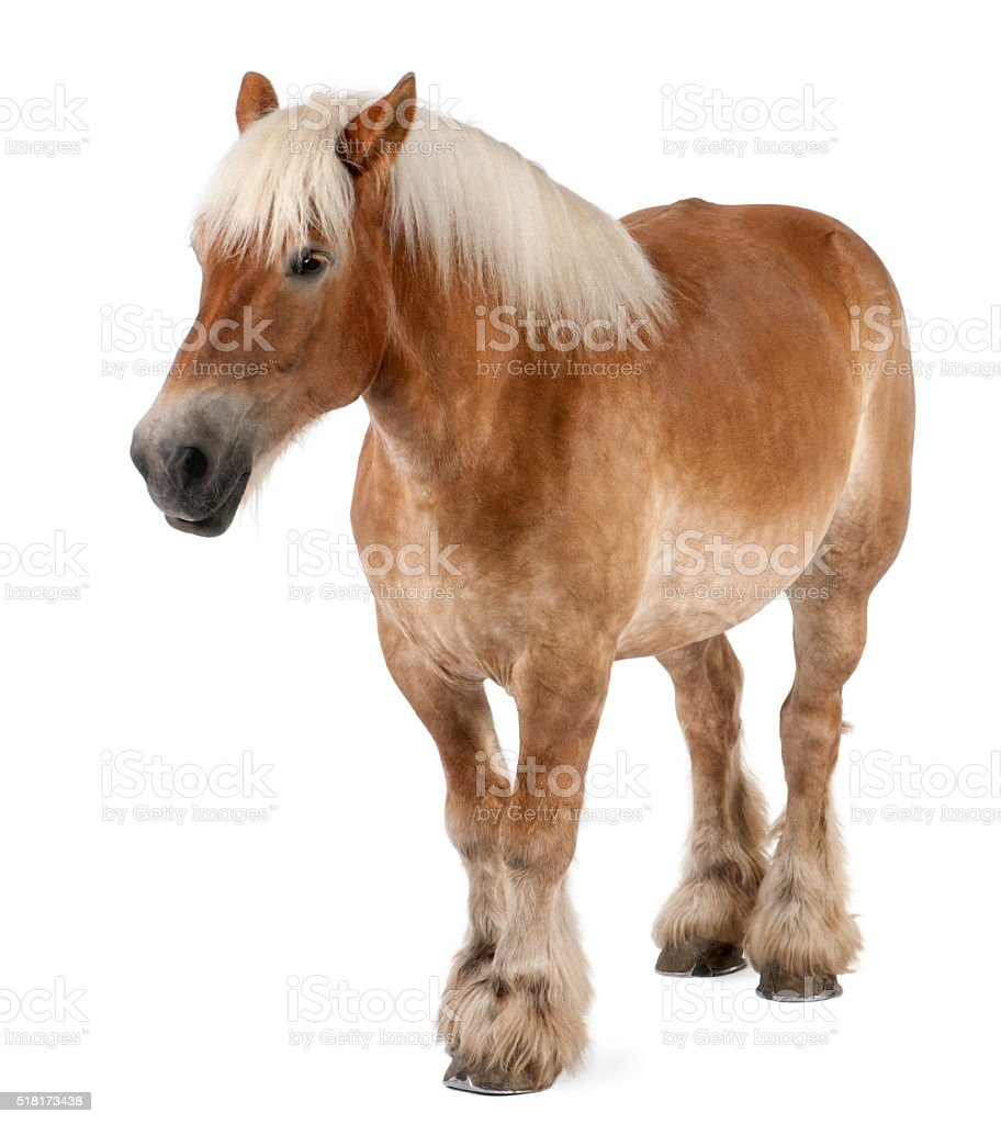 Belgian Heavy Horse, Brabancon, a draft horse breed standing stock photo