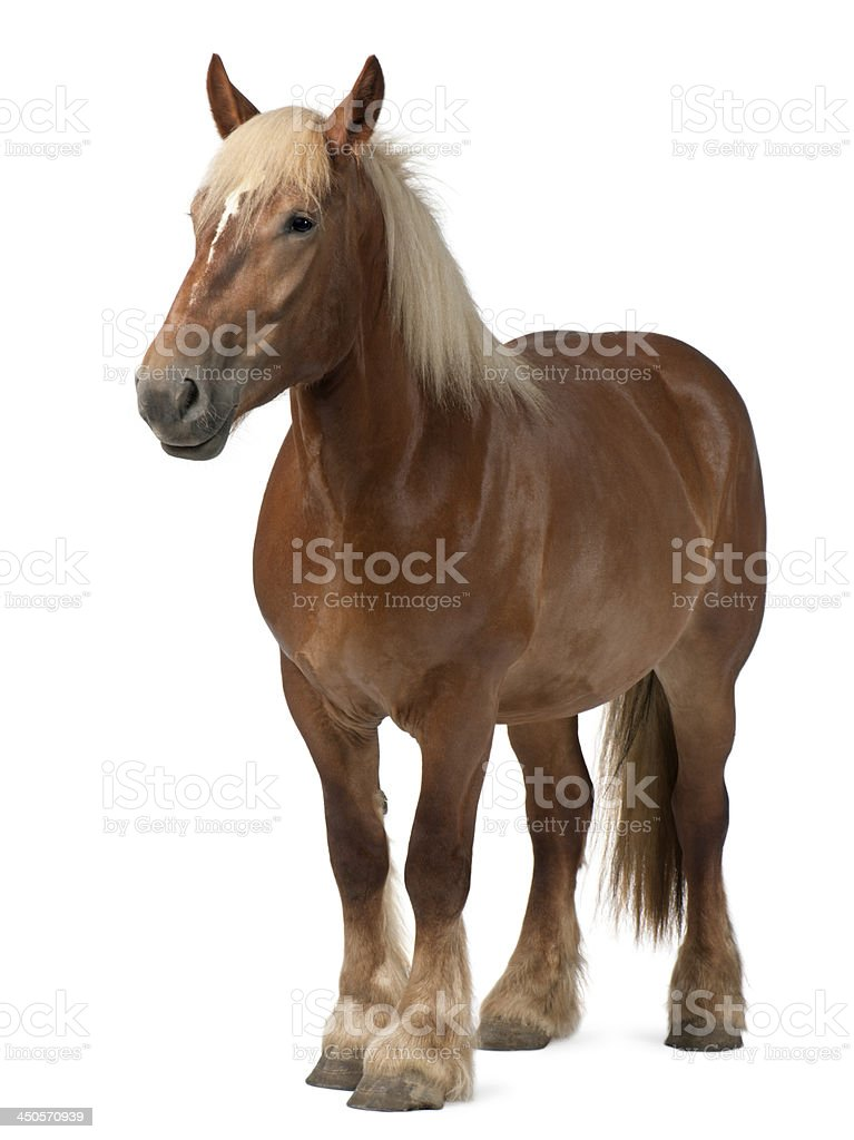 Belgian Heavy Horse, Brabancon,4 years old stock photo