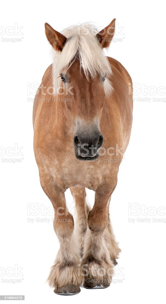 Belgian horse, Belgian Heavy Horse a draft horse breed standing stock photo