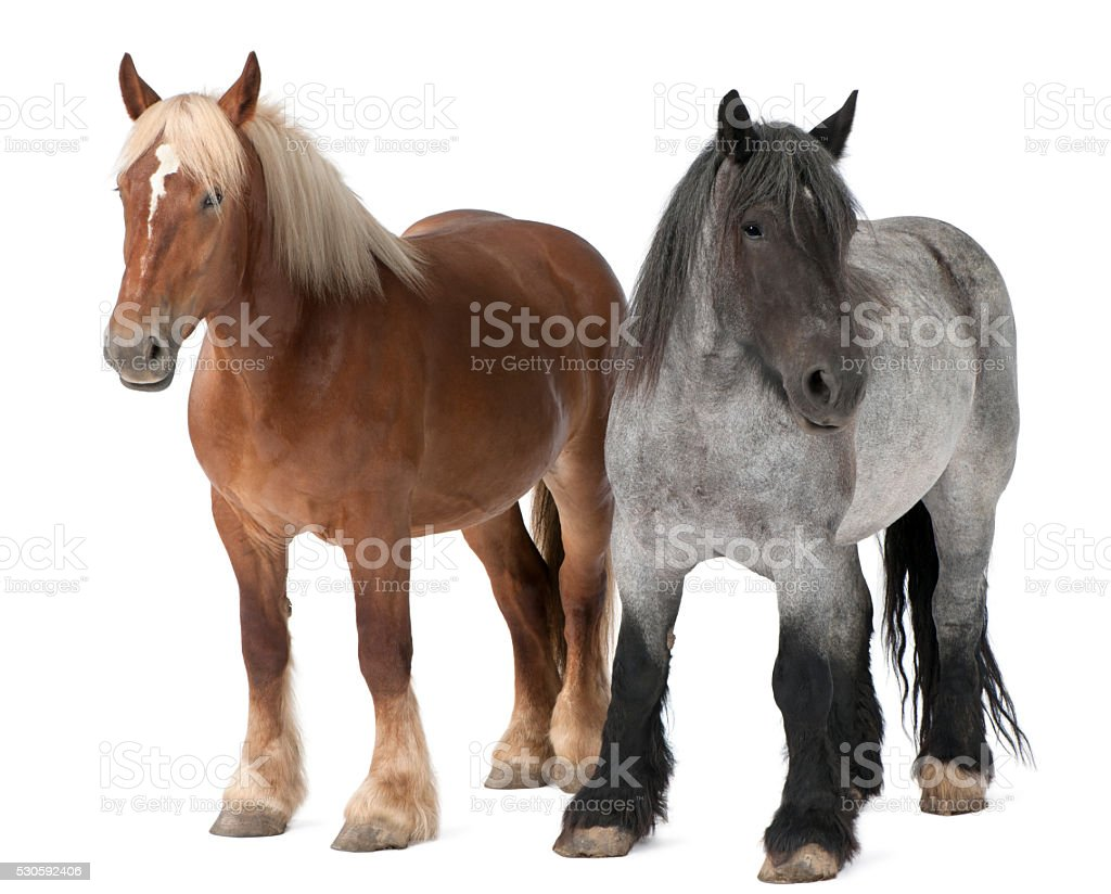 Belgian horse, Belgian Heavy Horse, Brabancon, a draft horse breed stock photo