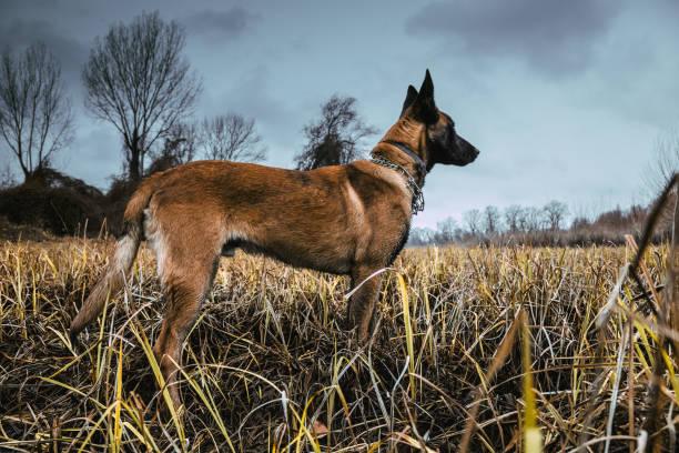 Belgian Malinois dog outdoor walking stock photo