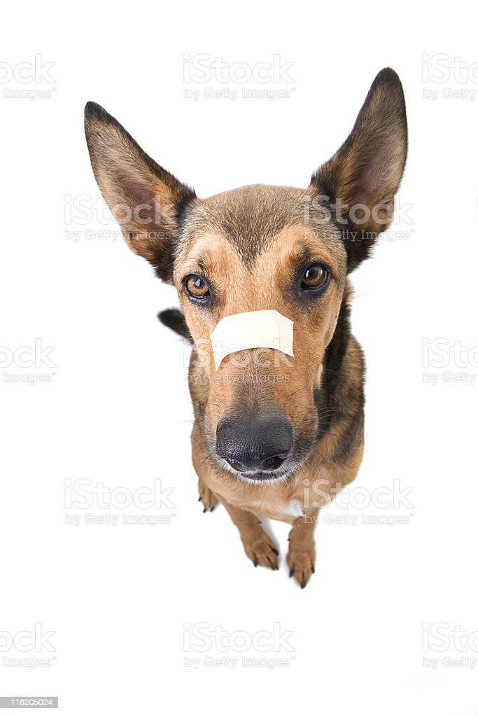 Belgian Malinois - Nose Injury royalty-free stock photo