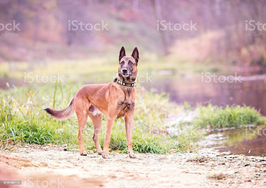 Belgian Malinois (Canis familiaris) stock photo
