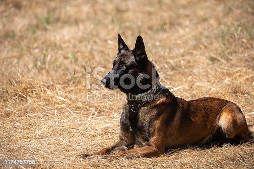 Police dog training with Belgian Malinois