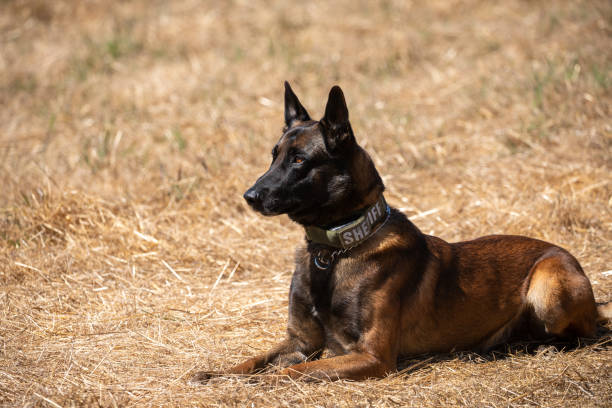 Belgian Malinois police dog sitting in field Police dog training with Belgian Malinois working animal stock pictures, royalty-free photos & images