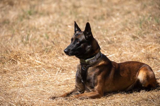 Belgischer Malinois Polizeihund sitzt im Feld – Foto