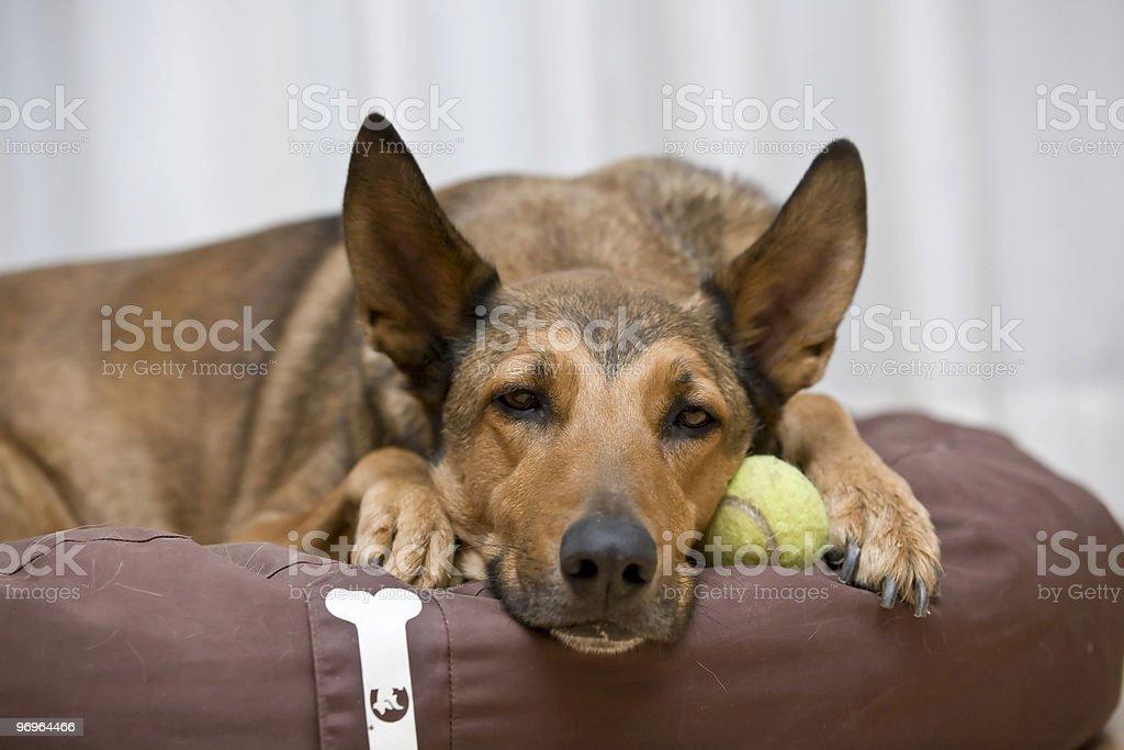 Belgian Malinois sleeping on tennis ball royalty-free stock photo