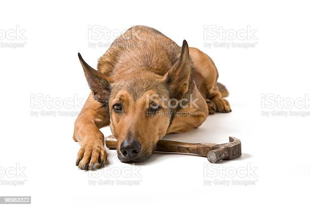 Belgian malinois with hammer picture id96963322?b=1&k=6&m=96963322&s=612x612&h=t7ktaook38golfunem0hbovfjixnyjcvouzqdhotarq=
