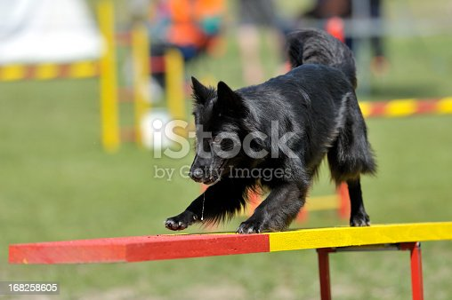 Belgian sheepdo groenendael on agility course, see-saw or teeter obstacle