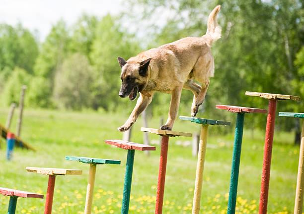 Belgian Sheepdog training stock photo