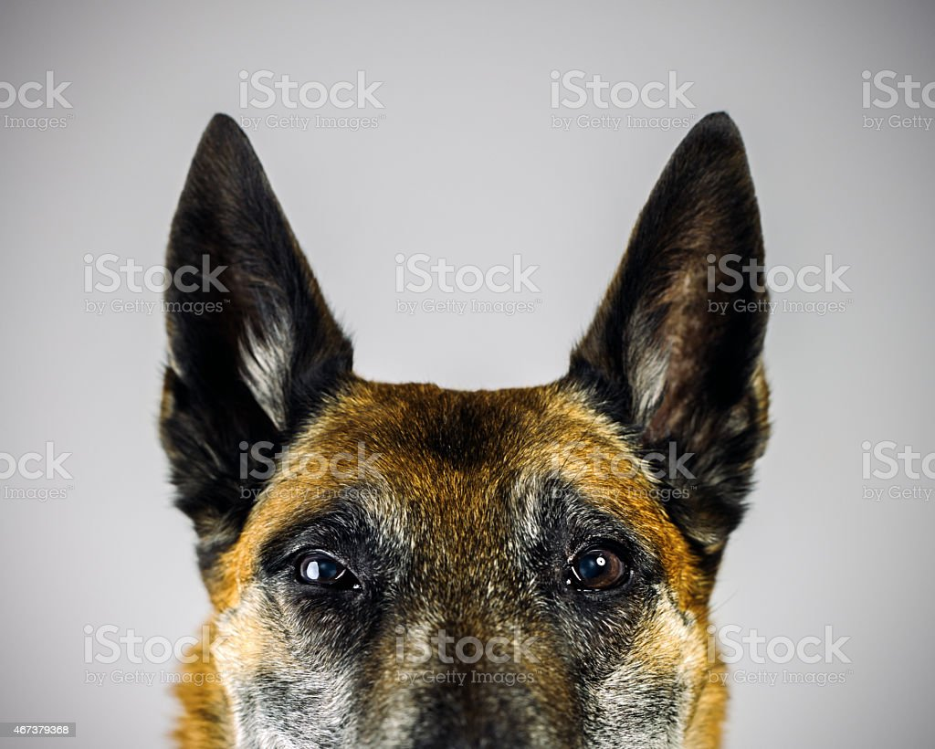 Belgian Sheperd Malinois dog looking at camera with suspicious expression. stock photo