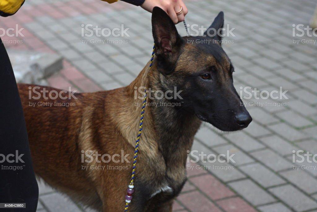 Belgian shepherd close up portrait, dog show winner, beautiful purebred dog stock photo