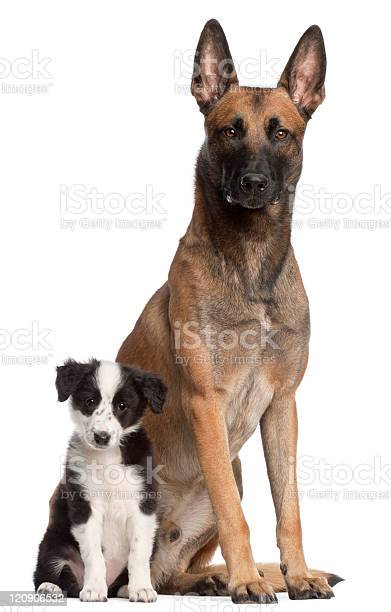 Belgian shepherd dog and border collie puppy sitting white background picture id120906532?b=1&k=6&m=120906532&s=612x612&h=druof0yw24kgcw9rntzurzaq jqxbhqvnpj15zaylmw=