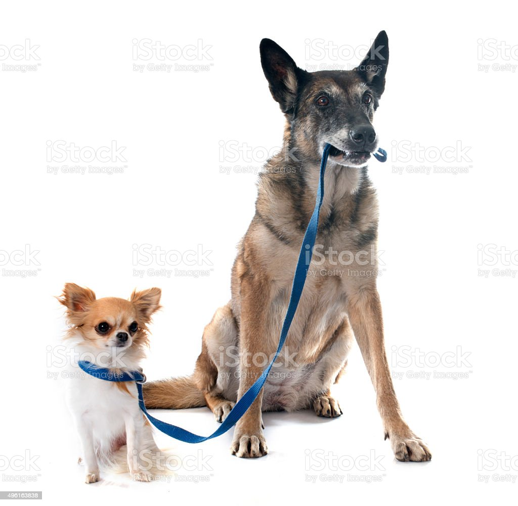 belgian shepherd dog and chihuahua stock photo