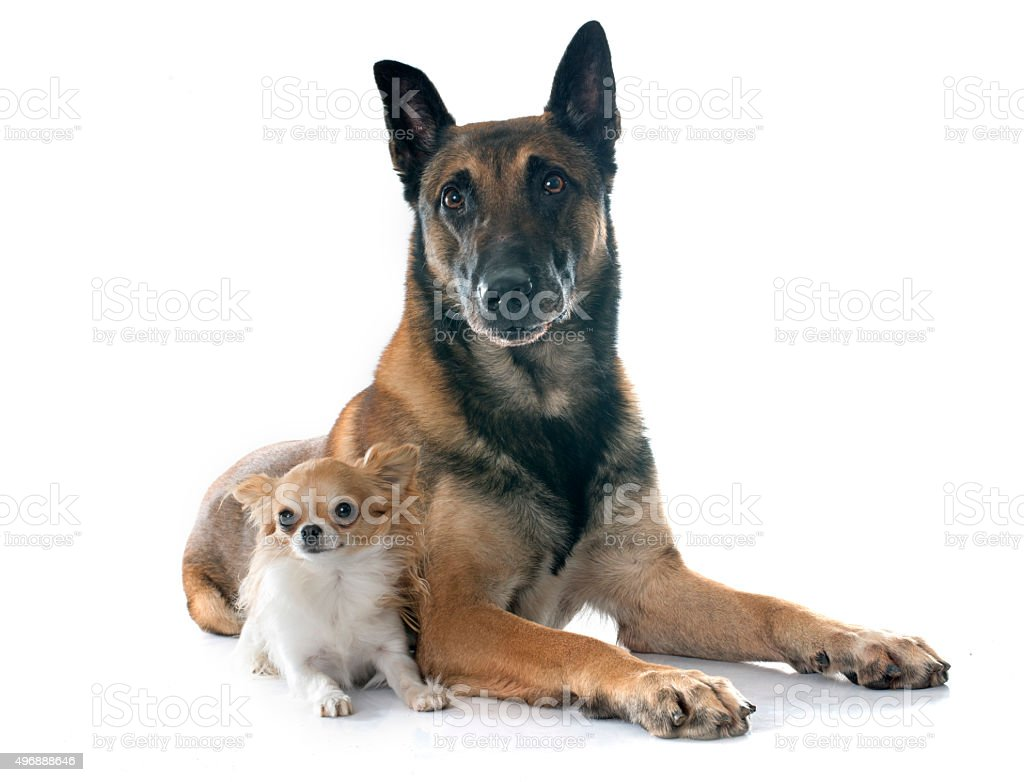 belgian shepherd dog and chihuahua stock photo