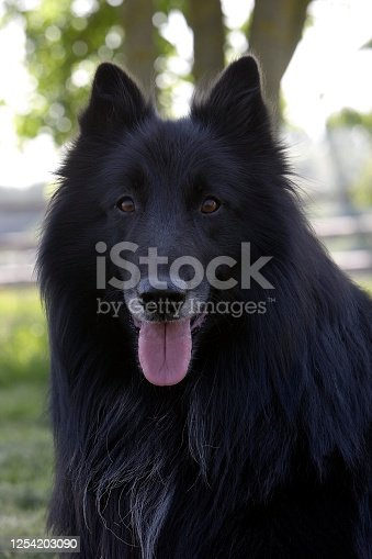 Belgian Shepherd Dog, Groenendael, Portrait of Male with Tongue out