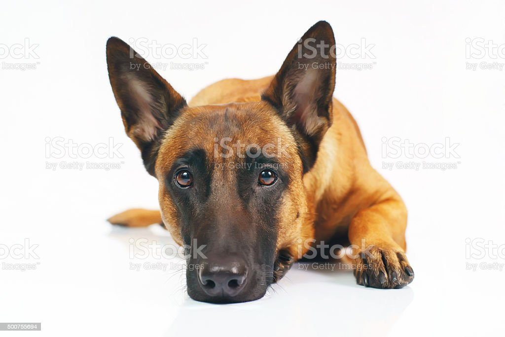 Belgian Shepherd dog Malinois lying on white background stock photo