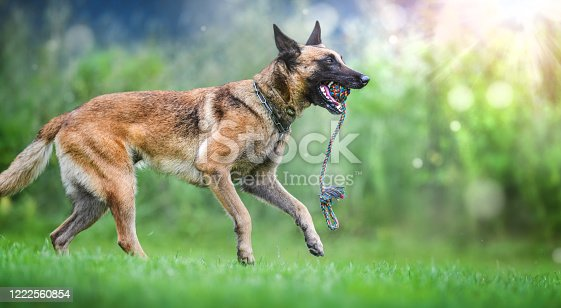 Belgian Shepherd dog Malinois jumping and play with toy on green sunny meadow.